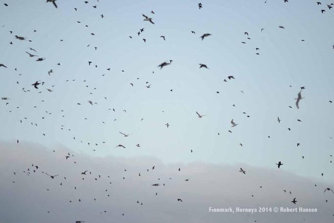 Fugler, Birds, Vögel - Hornøya 2014 © Robert Hansen