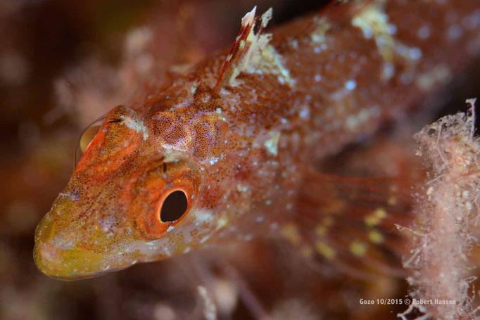 Ein winziger Spitzkopf-Schleimfisch sucht in einer Steilwand Schutz © Robert Hansen, Gozo Oktober 2015