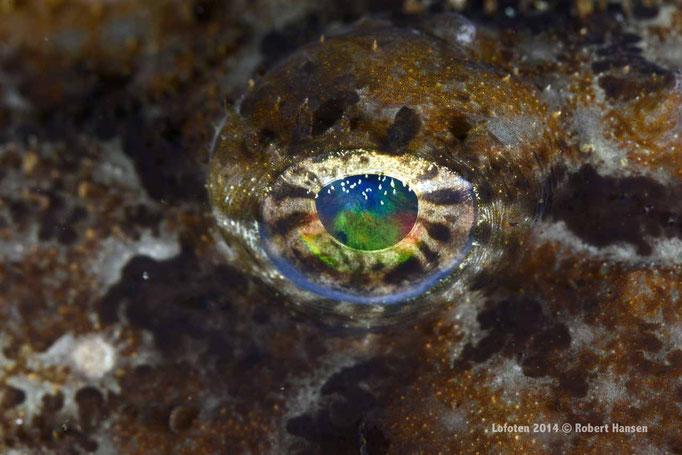Breiflabb - Anglerfish - Seeteufel © Robert Hansen