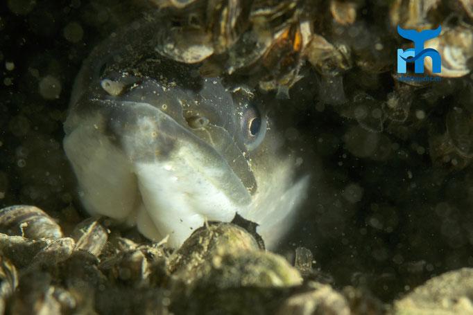 Ein Aal lugt aus seinem Versteck hervor © Robert Hansen