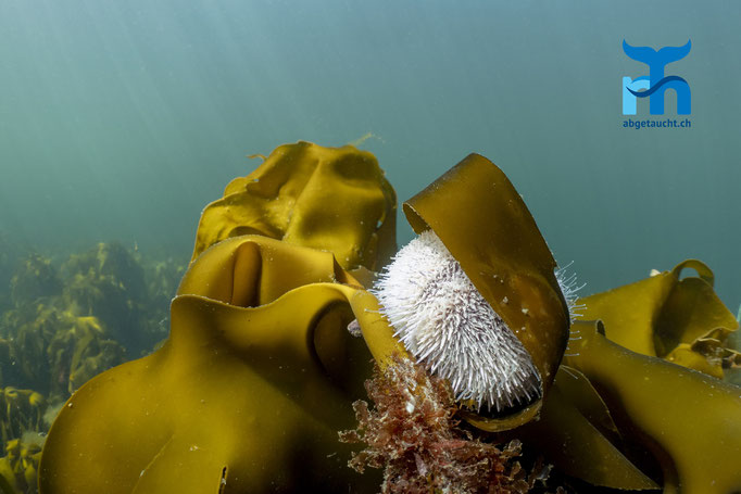 Echinus esculentus, edible sea urchin, essbarer Seeigel: versteckt im Kelp © Robert Hansen, Juli 2019