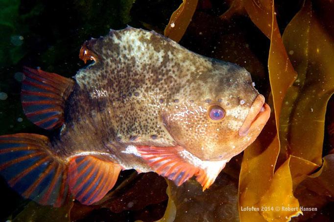 Rognkjeks - Lumpfish - Seehase (female) © Robert Hansen