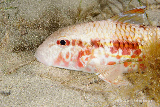 Meerbarbe. Die Fische suchen mit ihren Brustflossen und den Barteln im Sand nach Nahrung. Hier bei einem Nachttauchgang in fünf Metern Tiefe. © Robert Hansen, Gozo 2015
