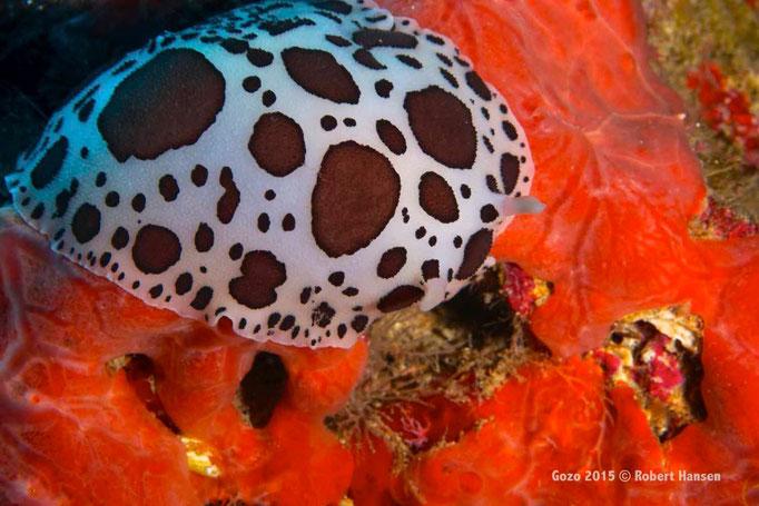 Leopardenschnecke. Diese Nacktschneckenart wird bis zwölf Zentimeter lang. Die Kiemenkrone ist eingezogen. Sie ernährt sich vom rotleuchtenden Feigenschwamm, hier  in einer Tiefe von 31 Metern. © Robert Hansen, Gozo 2015