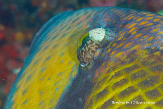 Ich seh dich auch - Malediven 2015 © Robert Hansen