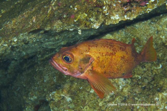 Rotbarsche sind ab 30 Metern Tiefe ständige Begleiter © Robert Hansen