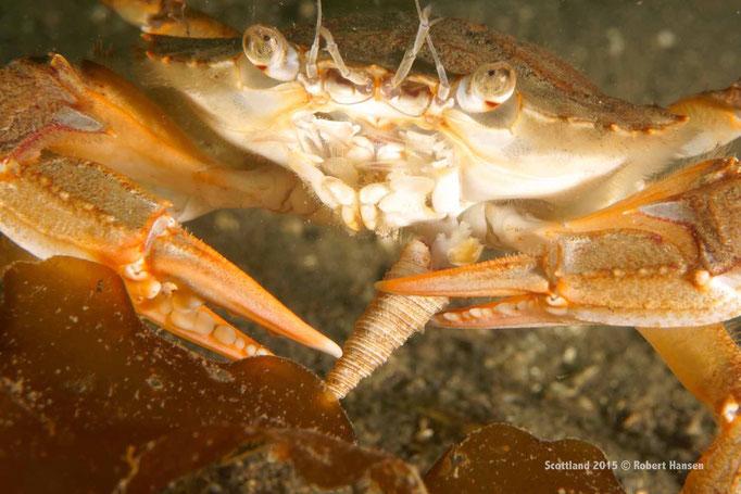 Krabbe sucht in Schneckenhaus nach Nahrung © Robert Hansen
