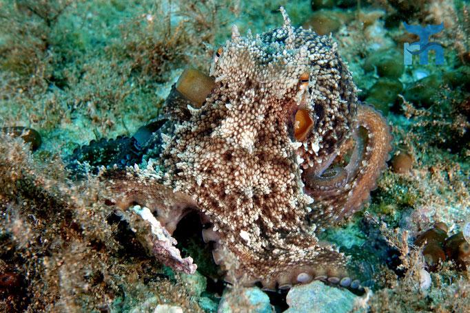 Der Oktopus posiert vor der Kamera mit Respekt und Neugierde © Robert Hansen
