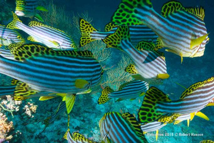 Elegante Beweglichkeit der Süsslippenfische - Malediven 2015 © Robert Hansen