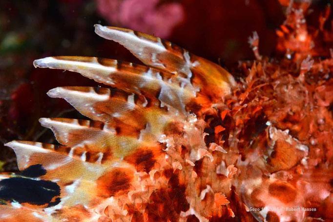 Die Stacheln eines Skorpionfisches enthalten ein schmerzhaftes Gift  © Robert Hansen, Gozo Oktober 2015