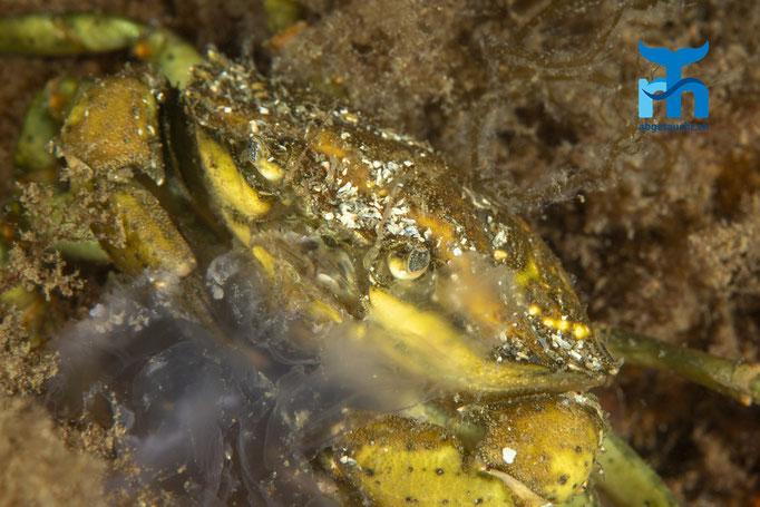Carcinus maenas, shore crab, gemeine Strandkrabbe: Ohrenqualle in den Scheren © Robert Hansen, Juli 2019
