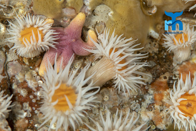 Actinothoe sphyrodeta, sandalled anemone, Sandallanemone: kontrastreicher Seestern inmitten der Anemonen © Robert Hansen, Juli 2019