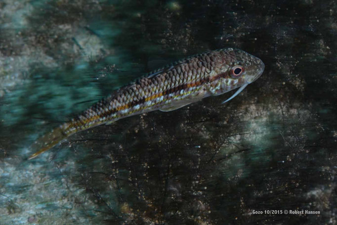 Eine Grundel fühlt sich beim Fressen gestört und schwimmt davon  © Robert Hansen, Gozo Oktober 2015