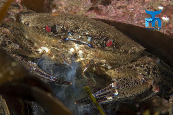 Necora puber, velvet swimming crab, Samtkrabbe: eine Qualle zur Mahlzeit © Robert Hansen, Juli 2019