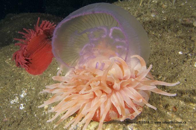 Seedahlie (urticina felina) hat sich eine Ohrenqualle aus der Strömung gefischt © www.roberthansen.ch