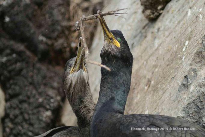 Toppskarv, Phalacrocorax aristotelis, European Shag, Krähenscharbe – Hornøya 2014 © Robert Hansen