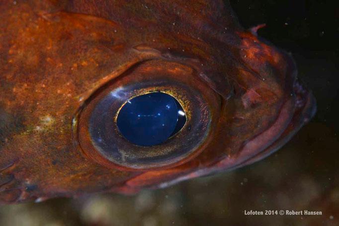 Lusuer / Norway Redfish / Kleiner Rotbarsch - Hinnøya 2014 © Robert Hansen