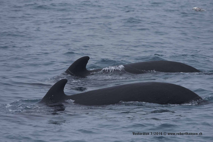 Die zwei Pilotwale gehören zu einer Gruppe von über 50 Tieren © Robert Hansen