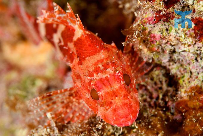 Kleiner Roter Drachenkopf ohne Scheu vor dem Kameramonster © Robert Hansen