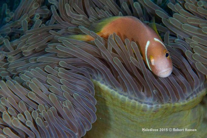 … und ich werde meine Anemone verteidigen - Malediven 2015 © Robert Hansen