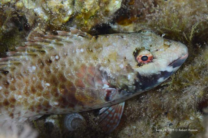 Ein Fisch im Nachgewand © Robert Hansen, Gozo Oktober 2015