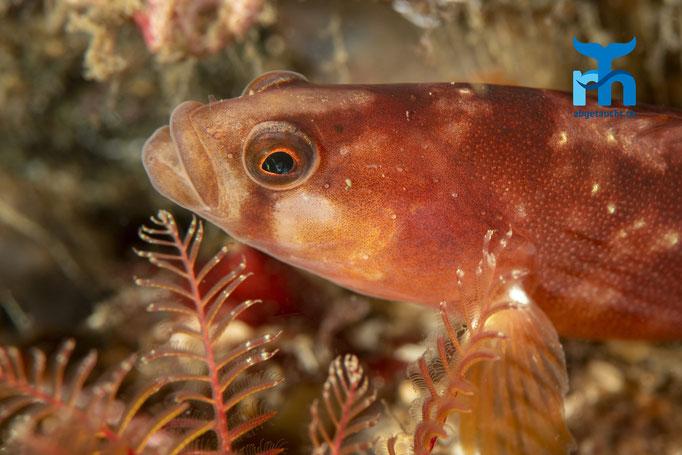 Pholis gunnellus, butterfish, atlantischer Butterfisch: schlangenähnlich unterwegs © Robert Hansen, Juli 2019