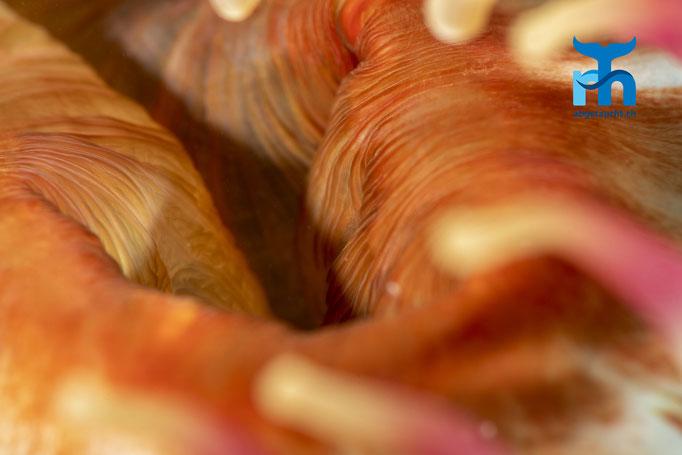 Urticina felina, dahlia anemone, dickhörnige Seerose: Der Mund © Robert Hansen, Juli 2019