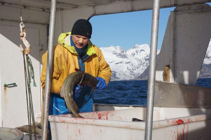 Daniel wirft einen Dorsch in einen Behälter. © Robert Hansen, Hamnøya, April 2014