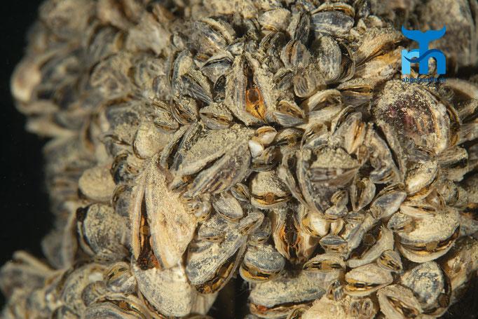 Muschelbänke überziehen festen Grund © Robert Hansen