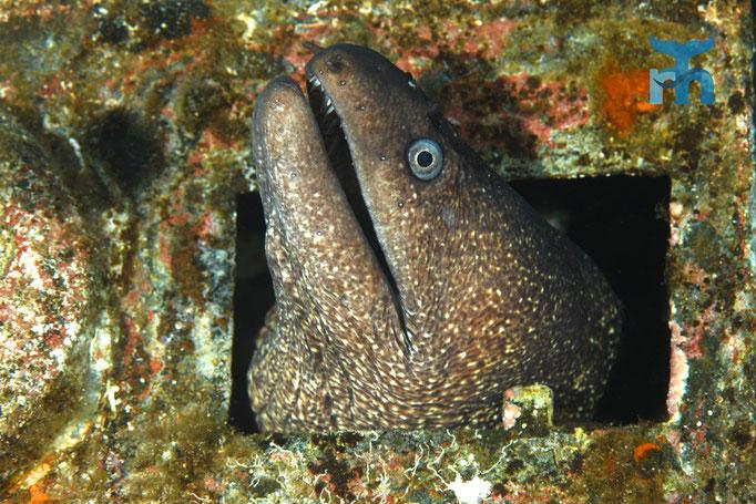 Diese Mittelmeermuräne (Muraena helena) lebt in der MS Pasewalk © Robert Hansen