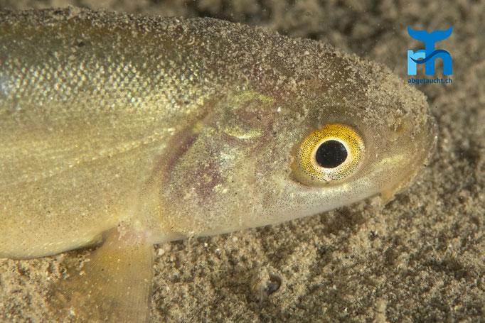 Das farbenprächtige Auge einer jungen Schleie © Robert Hansen