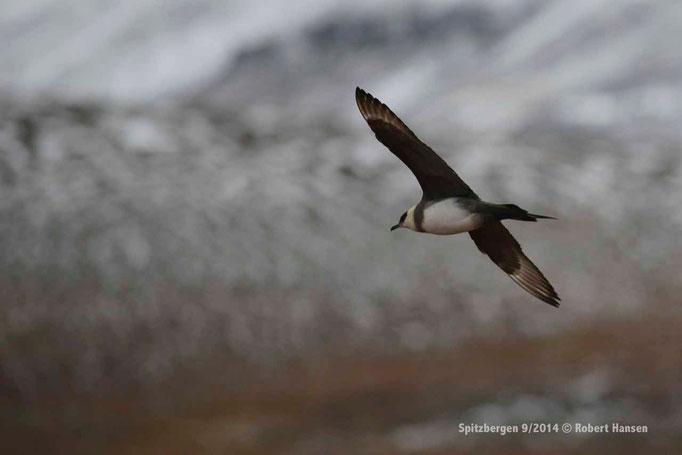 Fjelljo / Long-tailed Skua / Falkenraubmöwe - Svalbard 9/2014 © Robert Hansen