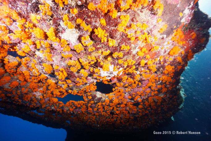 Sternkoralle. Siedelt an schattigen Stellen und Überhängen in Kolonien, hier unter dem Bogen des Blue Hole in sieben Metern Tiefe. Die Atemluft der Taucher sammelt sich in den Vertiefungen des Gesteins. © Robert Hansen, Gozo 2015