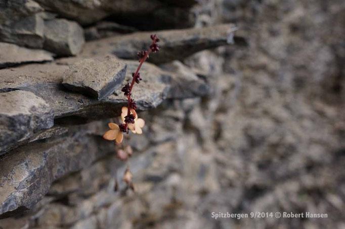 Knoppsildre / Drooping saxifrage / Nickender Steinbrech - Svalbard 9/2014 © Robert Hansen