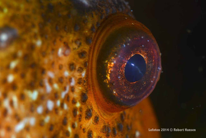 Rognkjeks - Lumpfish - Seehase © Robert Hansen