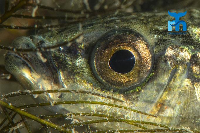 Auge in Auge mit dem Stichling © Robert Hansen