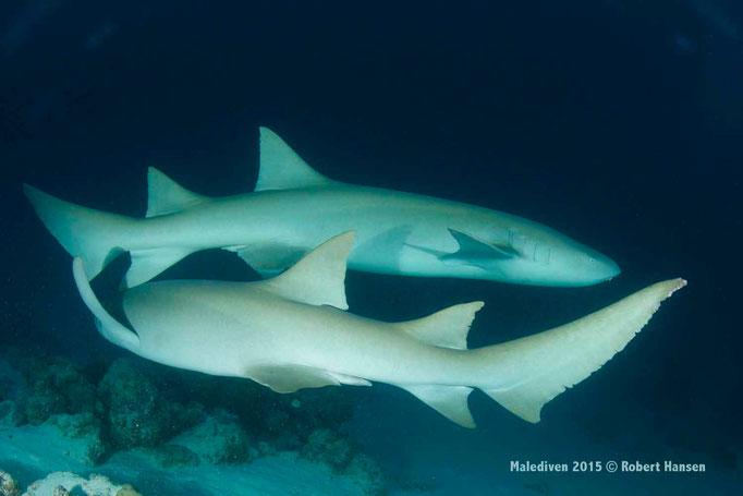 Zwei Ammenhaie auf Kreuzfahrt - Malediven 2015 © Robert Hansen