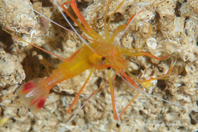Garnele im Shrimps Cave© Robert Hansen, April 2016