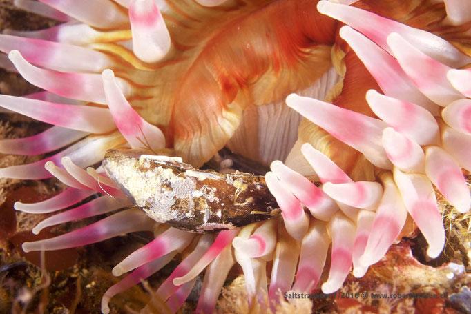 Eine Anemone verspeist eine Muschel © Robert Hansen