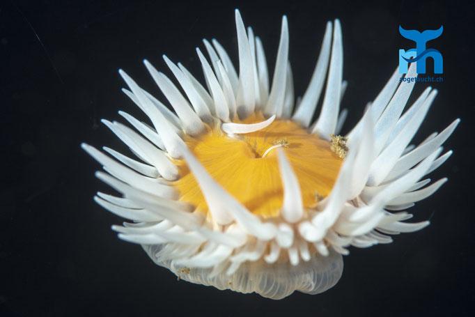 Actinothoe sphyrodeta, sandalled anemone, Sandallanemone: freischwebend © Robert Hansen, Juli 2019