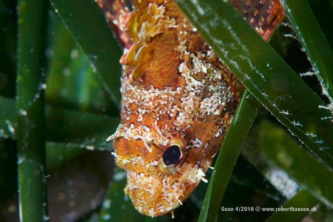 Skorpionfisch im Neptungras © Robert Hansen, April 2016