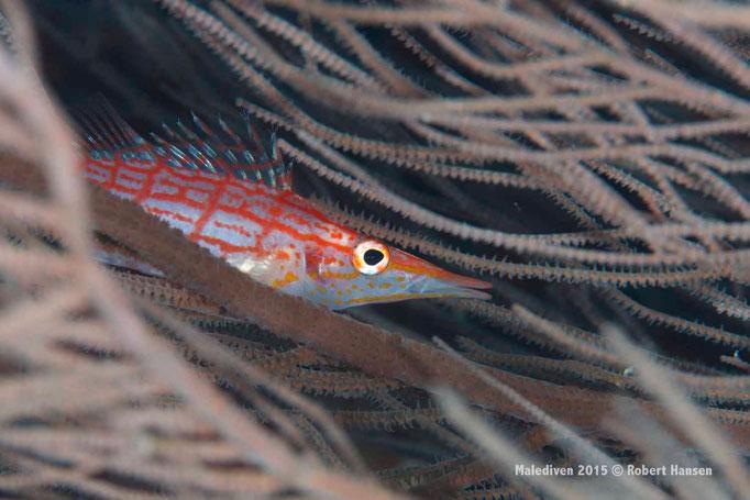 Gutes Versteck in der Hartkoralle - Malediven 2015 © Robert Hansen