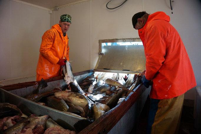 Der Dorsch wird von den Fischern an Land ausgenommen. © Robert Hansen, Hamnøya, April 2014