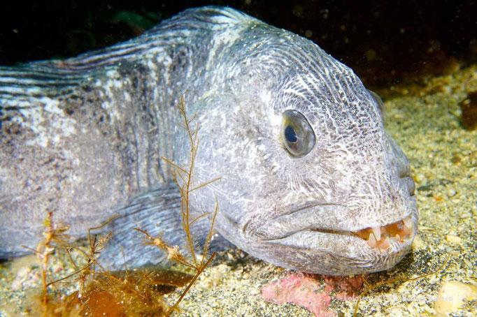 Stenbit - Catfish - Seewolf © Robert Hansen