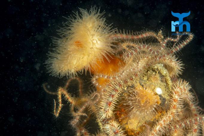 Metridium senile, plumose anemone, Seenelke: umgeben von Schlangenseesternen © Robert Hansen, Juli 2019