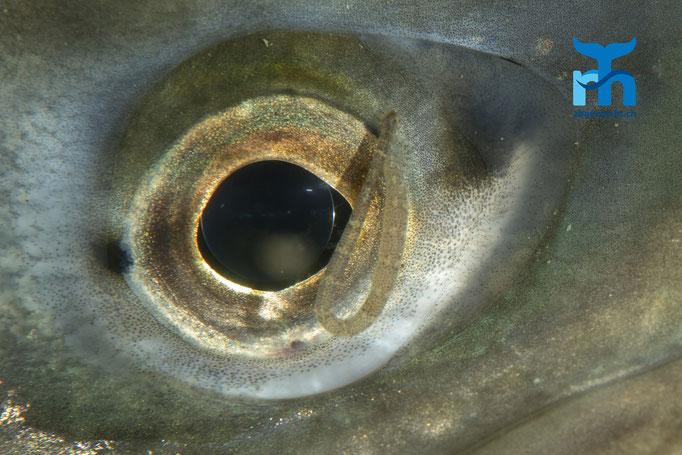 Ein Parasit auf dem Auge der Seeforelle © Robert Hansen