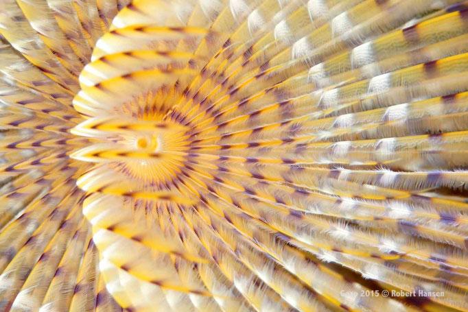 Schraubensabelle. Die Tentakelkrone hat mehrere Windungen und einen Durchmesser bis zu 20 Zentimetern. Die Schraubensabelle zieht sich bei Gefahr blitzschnell in die Röhre zurück und kann um