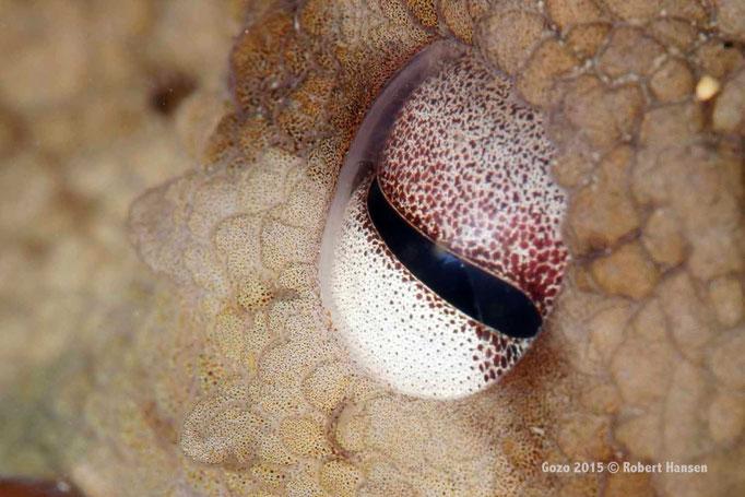 Gewöhnlicher Krake. Nahaufnahme des Auges. Hier in einer Tiefe von fünf Metern in seiner Höhle. © Robert Hansen, Gozo 2015