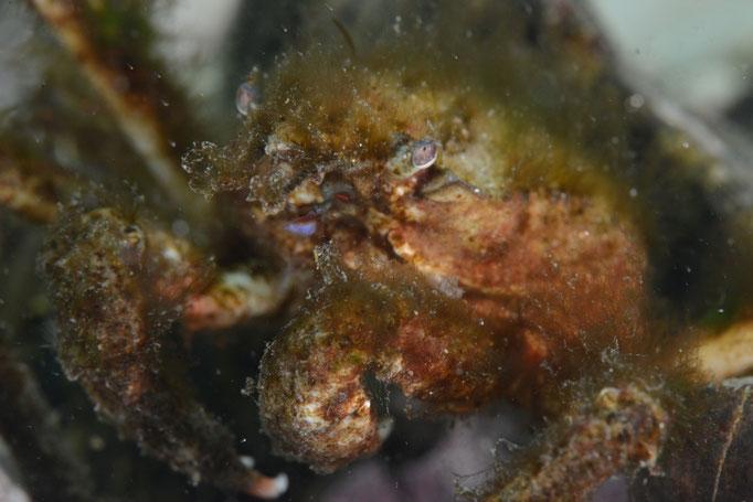 Gut getarnte Krabbe, auf deren Rücken Algen wachsen. © Robert Hansen, Ballstad, April 2014