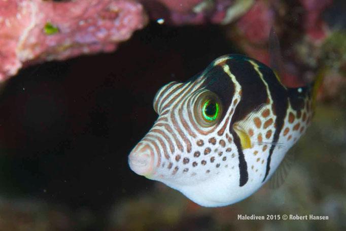 Junger Kofferfisch - Malediven 2015 © Robert Hansen